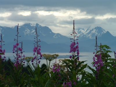 Fireweed_in_alaska
